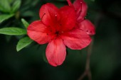 """Постер, картина, фотообои """"close up view of red blossoming flowers with petals and green leaves"""""""