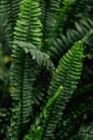 Photo pour Close up view of green colorful fern leaves - image libre de droit