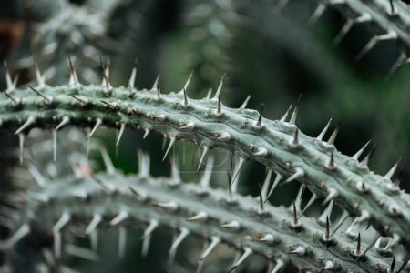 Photo for Close up view of sharp green cacti leaves - Royalty Free Image