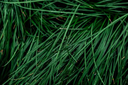 Foto de Top view of fresh green grass with drops - Imagen libre de derechos