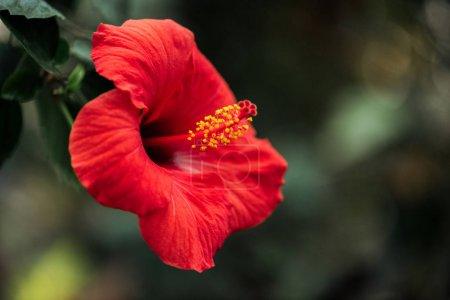 Nahaufnahme von roter Blume mit grünen Blättern auf verschwommenem Hintergrund