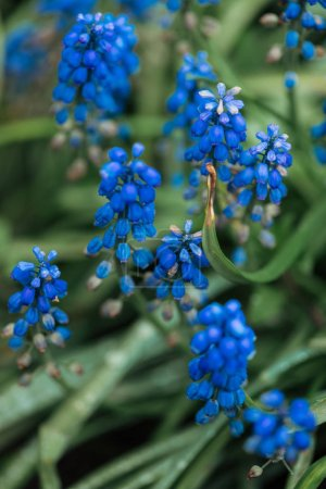 close up view of bright blue flowers and green leaves