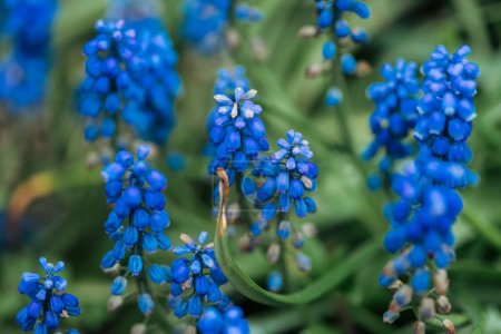 Photo for Close up view of bright colorful blue flowers and green leaves - Royalty Free Image