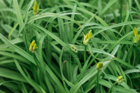 Photo for Close up view of fresh green grass with buds - Royalty Free Image