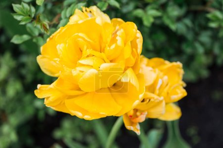 Photo for Close up view of bright yellow blossoming flowers and green leaves - Royalty Free Image