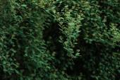 """Постер, картина, фотообои """"bush with green small leaves on dark background"""""""