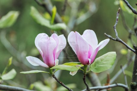 Photo for Close up view of pink flowers and green leaves on tree branches - Royalty Free Image