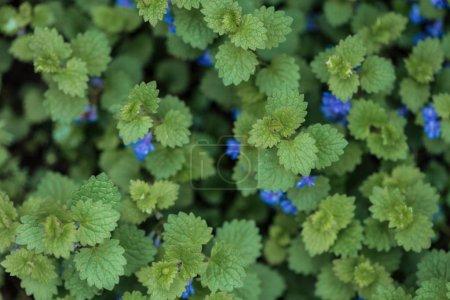 Photo pour Vue supérieure de buisson avec les feuilles vertes et les petites fleurs bleues - image libre de droit