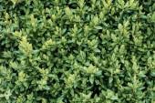 """Постер, картина, фотообои """"green blooming bush with small leaves, seamless background"""""""