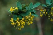 "Постер, картина, фотообои ""close up view of bright yellow flowers and green leaves on tree branch"""