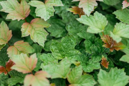 Photo for Close up view of green and red leaves with water drops - Royalty Free Image