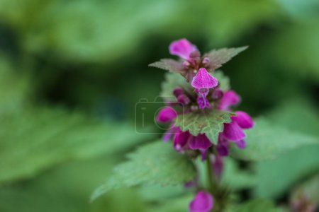 Photo for Close up view of small purple flowers and green leaves on blurred background - Royalty Free Image