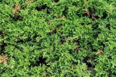 Photo pour Evergreen bush in sunshine, seamless background - image libre de droit