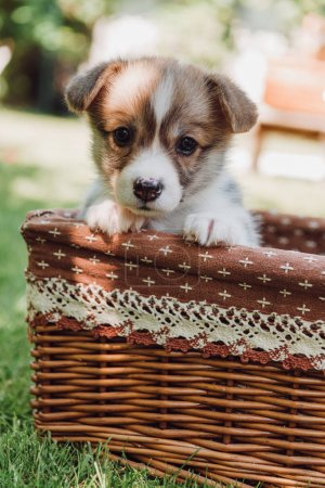 Photo for Cute adorable puppy in wicker box in green summer garden with sunlight - Royalty Free Image