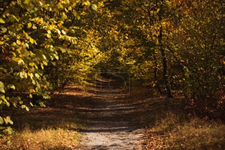 Photo for Scenic autumnal forest with golden foliage and path in sunlight - Royalty Free Image