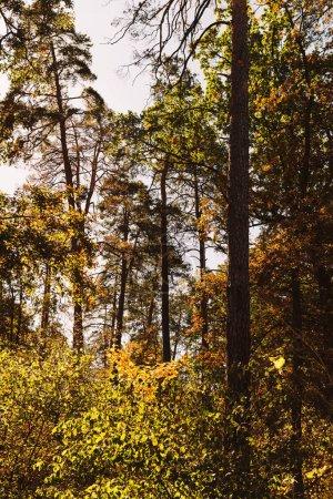 Photo pour Pittoresque forêt automnale avec de grands arbres et un feuillage doré au soleil - image libre de droit