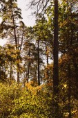 scenic autumnal forest with high trees and golden foliage in sunlight
