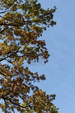Photo pour Arbre automnal avec feuillage doré sur fond de ciel bleu au soleil - image libre de droit