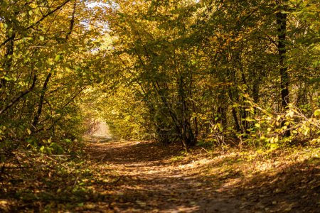picturesque autumnal forest with golden foliage and path in sunlight