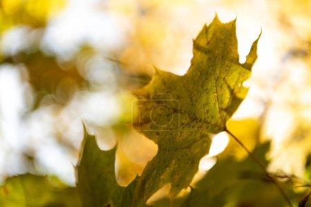 """Photo pour Vue de près du feuillage de l """"érable doré sur les branches au soleil - image libre de droit"""
