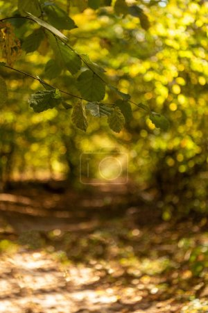 Photo pour Focalisation sélective de la forêt automnale pittoresque avec feuillage doré et sentier à la lumière du soleil - image libre de droit