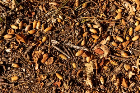 Photo for Top view of dry leaves, branches and acorns on ground in autumnal forest in sunlight - Royalty Free Image