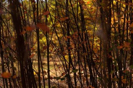 Photo pour Branches d'arbres avec feuillage doré en forêt automnale - image libre de droit