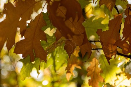 Photo for Close up view of maple leaves in autumnal forest in sunlight - Royalty Free Image