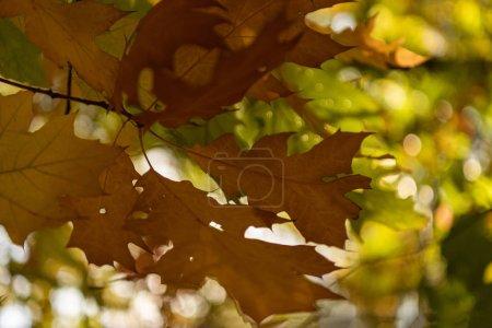 Foto de Cerrar la vista de las hojas de arce en el bosque autumnal bajo la luz del sol. - Imagen libre de derechos