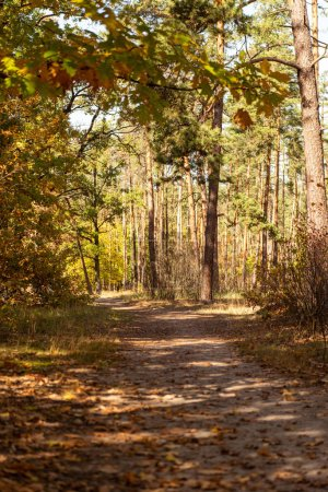 Photo for Beautiful autumnal forest with golden foliage and path in sunlight - Royalty Free Image