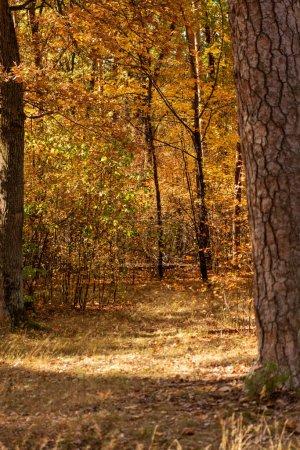 Photo pour Belle forêt automnale avec feuillage doré et sentier ensoleillé - image libre de droit