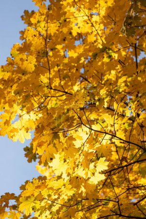 Photo for Close up view of autumnal tree with golden foliage on blue sky background - Royalty Free Image