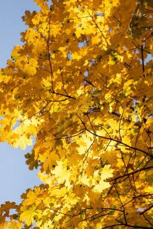 Photo pour Vue de près d'un arbre automnal au feuillage doré sur fond bleu - image libre de droit