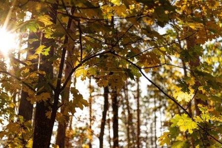 Foto de Vista de bajo ángulo del pintoresco bosque autumnal con hojas doradas y ramas arbóreas bajo la luz del sol. - Imagen libre de derechos