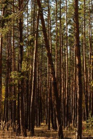 Photo pour Pittoresque forêt automnale avec de grands pins au soleil - image libre de droit