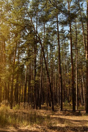 Photo pour Pittoresque forêt automnale avec des arbres dorés et de grands pins au soleil - image libre de droit