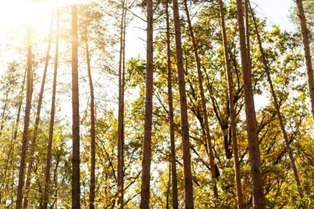 Photo pour Vue à faible angle des arbres automnaux sur fond ciel bleu avec soleil - image libre de droit