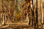 scenic autumnal forest with tree trunks and path in sunlight