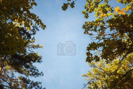 Photo pour Vue du bas des arbres cimes sur fond ciel bleu - image libre de droit