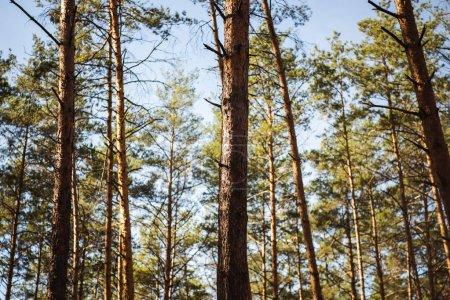 Photo pour Forêt automnale pittoresque avec troncs d'arbres en bois au soleil - image libre de droit