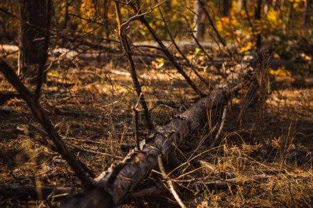 Photo pour Tronc d'arbre tombé sur le sol dans une forêt automnale - image libre de droit