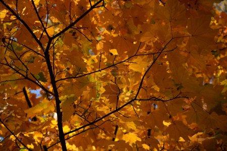 Photo pour Vue de près des feuilles d'érable orangé sur la branche - image libre de droit