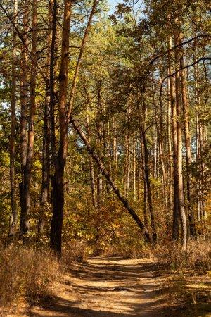 Photo pour Pittoresque forêt automnale avec troncs en bois et sentier ensoleillé - image libre de droit
