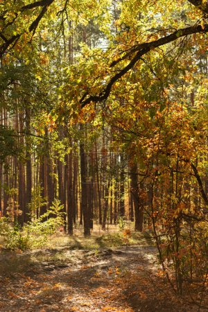 Photo for Scenic autumnal forest with golden foliage and shining sun - Royalty Free Image