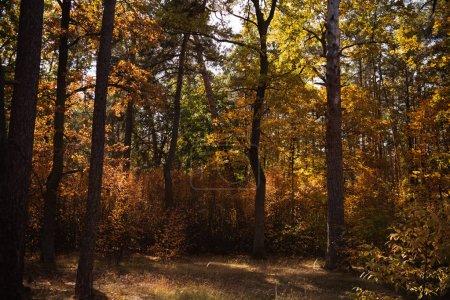 Photo pour Pittoresque forêt automnale avec des arbres au soleil - image libre de droit