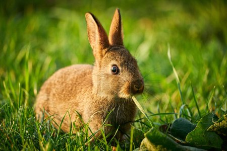 Photo for Cute rabbit hidden in the grass. Wildlife scene from nature.  Animal in the nature habitat, life on the meadow. - Royalty Free Image