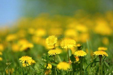 Photo pour Pré avec des fleurs de pissenlit jaune au milieu de l'herbe verte au printemps . - image libre de droit