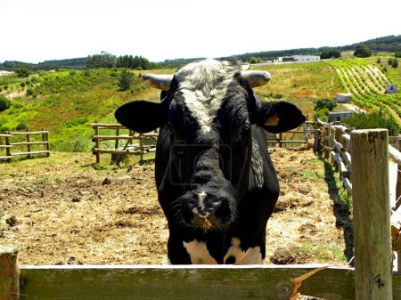 Portrait of a young black and white bull on a live...