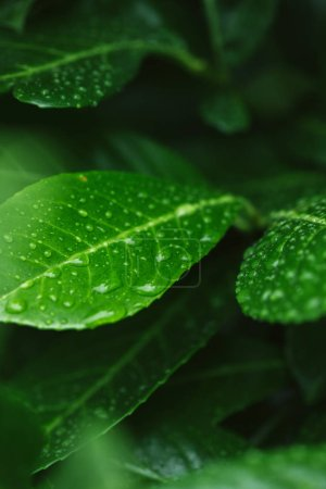 selective focus of green leaves with water drops after rain