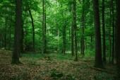 """Постер, картина, фотообои """"прекрасный зеленый лес в Германии летом"""""""
